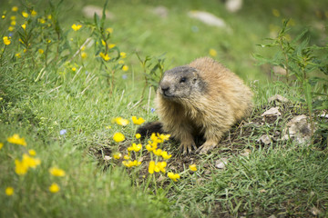 Alpine marmot in the natural environment. Dolomites.