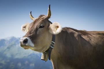 Kuh auf einer Alm, Österreich, Bregenzerwald