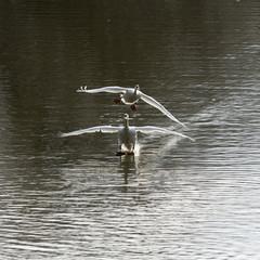 Höckerschwäne , Cygnus olor, bei der Landung