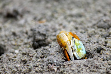 An orange and blue fiddler crab peeking out of its shelter