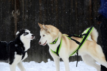 blue eyes, two sibirien huskies in the snow looking at one another
