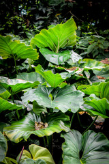 Colocasia gigantea or Giant Elephant Ear or Indian Taro of enormous size Jungle