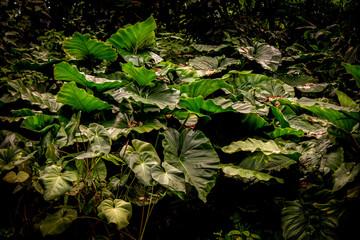 Colocasia gigantea or Giant Elephant Ear or Indian Taro of enormous size Jungle