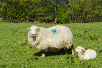 Welsh mountain sheep ewe and her resting lamb in a sunny pasture in rural Wales