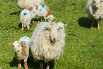 Welsh mountain sheep ewe keeps a watchful guard over her lambs on a mountain pasture in rural North Wales