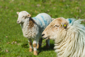 Welsh mountain sheep ewe keeps a watchful guard over her lamb on a mountain pasture in rural Wales