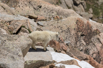 Mountain Goat in the Alpine