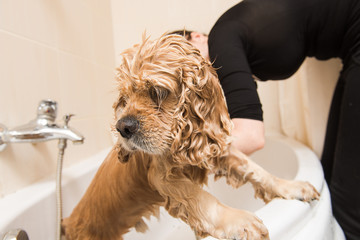 American cocker spaniel in the bathroom
