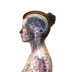 Female Profile of Head, Skull, Brain, Nerves, Arteries and Veins on White