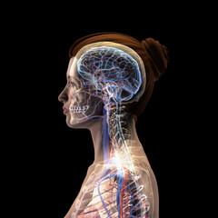 Female Profile of Head, Skull, Brain, Nerves, Arteries and Veins on Black