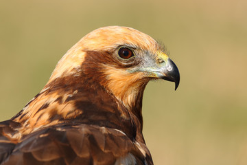 Side view portrait of the head of a marsh harrier