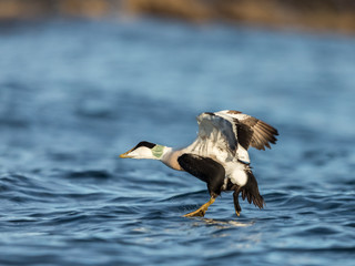 Common Eider male taking off from the blue ocean in winter