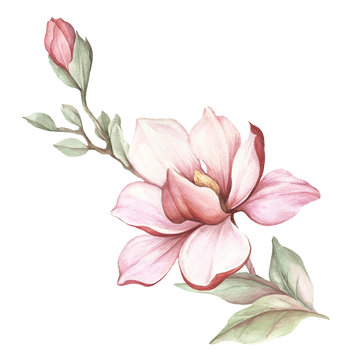 Image of blooming magnolia branch. Watercolor illustration