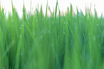 Dew on green leaves of rice plant. bokeh and blur of rice plant background.