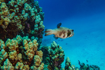 Red sea world with ball fish