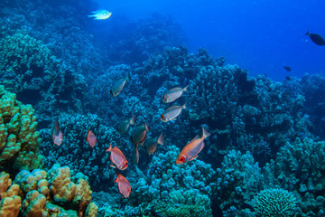 Underwater world, corals and fish on blue water background