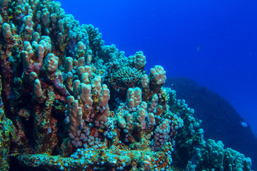 Corals on blue water background in Red sea