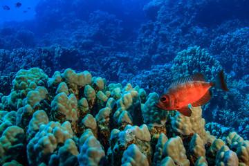 Underwater reef with blue water background