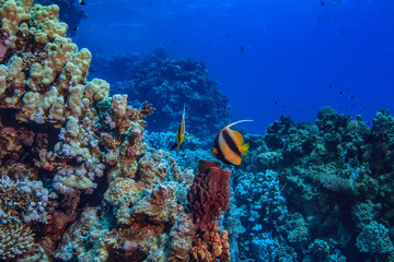 Beautiful Red sea underwater world, corals with fish and copyspace in corner