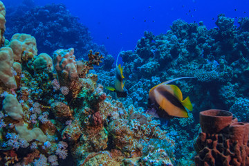 Colorful underwater scene in Red sea blue water