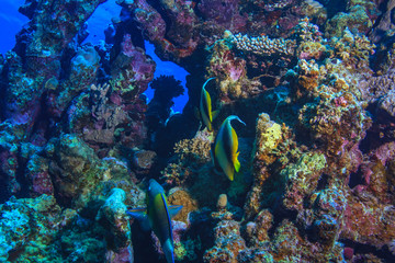 Red sea diving and coral fish