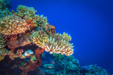 Colorful coral in blue water of Red sea
