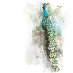 The beautiful green peafowl show its tail. Watercolor painting (retouch).