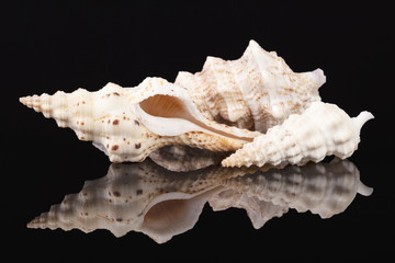 Sea shells of auger snail isolated on black background