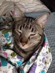 In ein Tuch gehüllte Hauskatze mit fast geschlossenen Augen