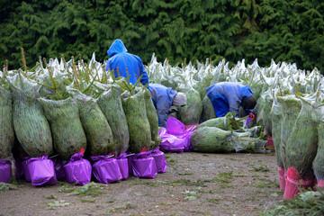 arbre noel fete sapin decoration coupe foret ardennes bois entreprise travail Altitude500 hiver recolte