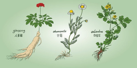 Engraving illustration of set of medicinal herbs in colors: ginseng, chamomile, celandine