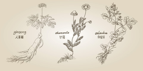 Engraving illustration of set of medicinal herbs in sepia: ginseng, chamomile, celandine