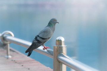 Grey pigeon standing on steel bar near lake with nature blurred background.