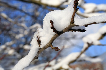 Branches plum tree under snow with sunlight. Winter country garden.