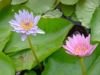 Close up view blooming pink lotus flower.