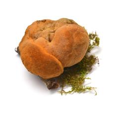 Inonotus cuticularis fungus