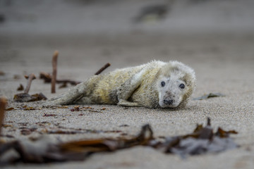 Comical playful common seal (Phoca vitulina) pup lying on side on beach of Helgoland looking at camera with ocean in background