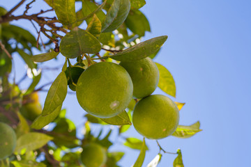 green mandarins grape on tree branches