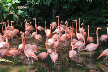 Caribbean flamingo standing in water with reflection. Singapore. An excellent illustration.