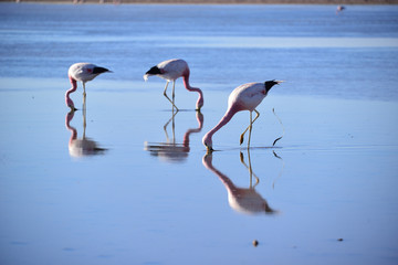 flamingo in atacama
