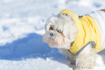 Cute dog Maltese playing outdoor in snow