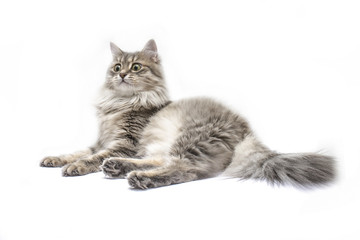 gray cat lying with surprised look isolated