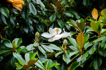 Magnolia white flower