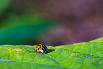 A beautiful macro insect called ladybug on the branch and leave of the tree. It has orange color and black spots. Coccinellidae is a small beetles.  names ladybird beetles or lady beetles.