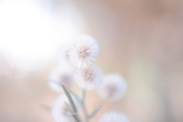 Fluffy plants soft as cotton