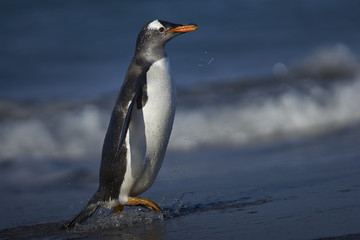 Gentoo Penguin (Pygoscelis papua) on a sandy beach on Sea Lion Island in the Falkland Islands.