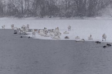 swans lake wintering snowfall birds