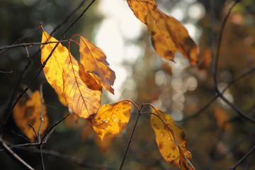Yellow autumn leaves.