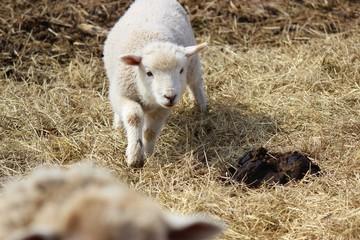 Curious Lamb