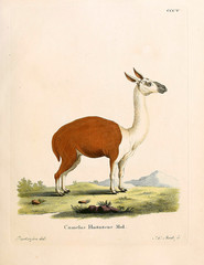 Illustration of a llama